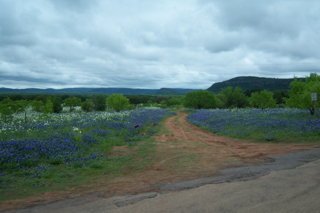 Bluebonnets on the Willow City Loop during the Wildflower season
