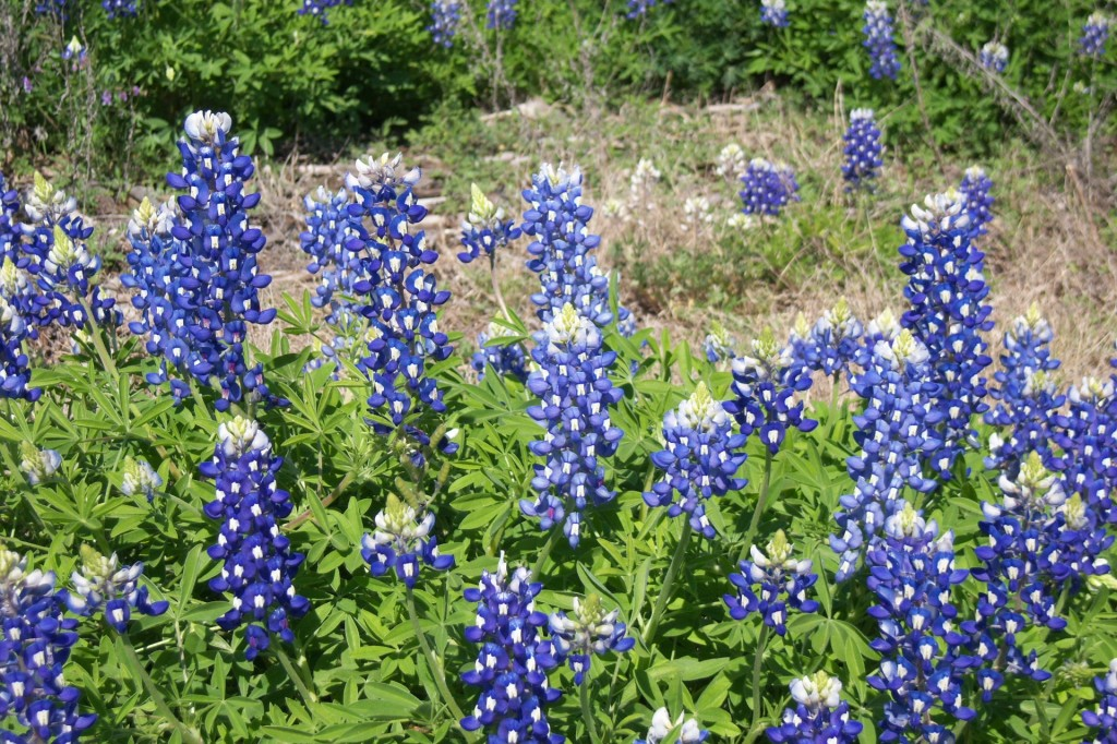 motorcycle, ride, Texas, Hill Country, Wildflowers, bluebonnets