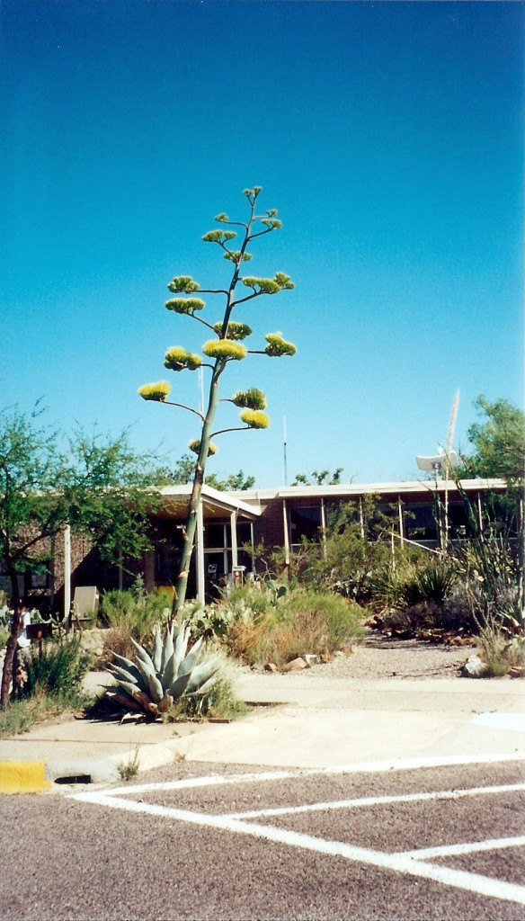 Century Plant in Bloom at Chisos Basin Lodge